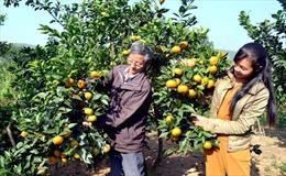 Phát huy hiệu quả từ mô hình trồng cây ăn quả của Hợp tác xã Quang Vinh