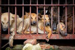 Bức xúc lễ hội thịt chó diễn ra bất chấp dịch COVID-19 và quy định mới về bảo vệ chó