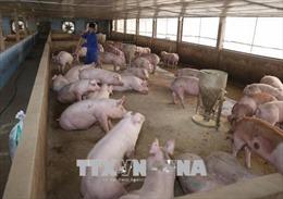 Giá thịt lợn hơi tăng cao nhưng người chăn nuôi không nên tăng đàn ồ ạt