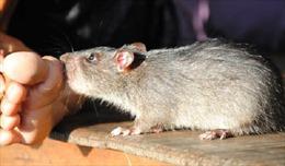 Phát hiện bệnh nhân đầu tiên lây virus viêm gan E từ chuột