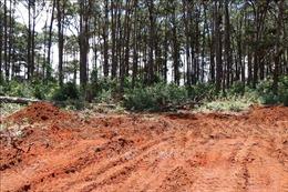 'Bốc hơi' 30 ha rừng thông sau khi giao cho doanh nghiệp quản lý