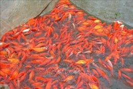 Giá cá chép Tết ông Công ông Táo ít biến động