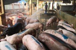 Lào Cai triệu tập đối tượng đưa tin sai về dịch tả lợn châu Phi trên Facebook