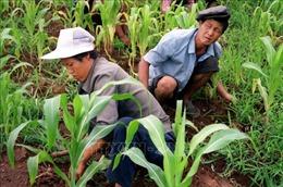 Sản xuất lương thực của Triều Tiên gặp nhiều khó khăn
