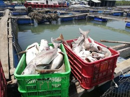 Cá biển nuôi lồng bè ở Bà Rịa-Vũng Tàu lại chết hàng loạt