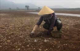 Mật độ quá dầy, nhiệt độ chênh lệch cao khiến ngao chết hàng loạt ở Thanh Hóa