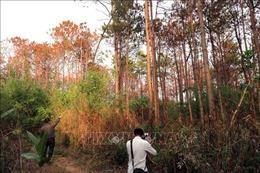 Khởi tố, điều tra vụ hàng ngàn cây thông ở Lâm Đồng bị hạ độc