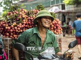 Vải thiều Bắc Giang giá cao gấp đôi năm ngoái, thu hoạch không kịp tiêu thụ