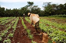 Chính sách cấm vận của Mỹ gây thiệt hại cho ngành nông nghiệp Cuba