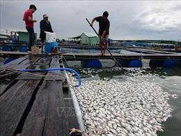 Cá nuôi lồng bè lại chết trắng sông Chà Và
