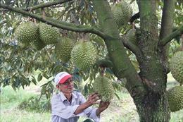 Thâm canh sầu riêng thích ứng biến đổi khí hậu