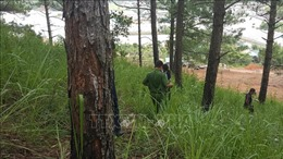 Phát hiện vụ 'đầu độc' rừng thông ba lá 27 năm tuổi tại Đà Lạt