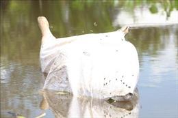 Xác lợn thả trôi bừa bãi trên kênh Tự Chảy ở Bến Tre