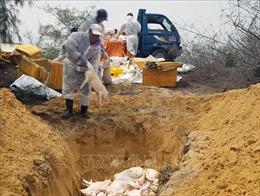 Tiêu hủy lợn bị nhiễm dịch tả châu Phi