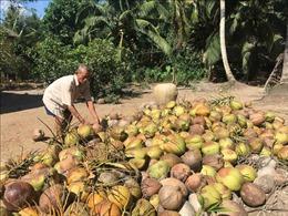 Giá dừa khô tại Trà Vinh tăng cao