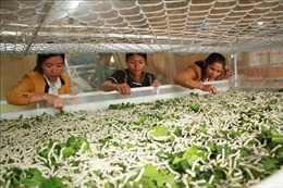 Phát triển trồng dâu nuôi tằm trong vùng đồng bào dân tộc thiểu số