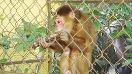 Tự nguyện giao nộp cá thể khỉ mặt đỏ quý hiếm