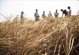 Gần 1.600 ha lúa tại Kiên Giang bị ảnh hưởng nặng nề do hạn, mặn