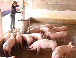 Hà Nội khôi phục, phát triển đàn lợn thương phẩm