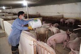 Giải pháp tái đàn lợn bền vững