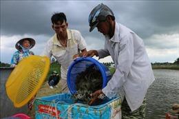 Phát triển ngành tôm nước lợ Việt Nam - Bài cuối: Nắm bắt thời cơ trong niên vụ 2020