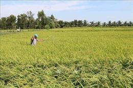 Nhân rộng mô hình trồng lúa theo tiêu chuẩn hữu cơ
