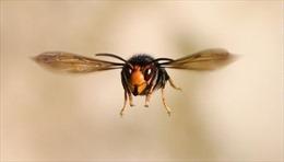 'Ong bắp cày sát thủ'xuất hiện bất thường tại Mỹ