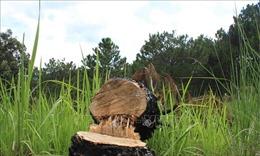 Phát hiện vụ phá rừng thông nội ô Đà Lạt