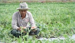 Lúa và dưa hấu tại Vĩnh Long 'bầm dập' do mưa kéo dài