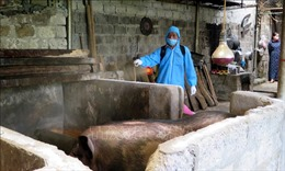 Dịch tả lợn châu Phi tái bùng phát tại Cao Bằng