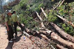 Phát hiện, ngăn chặn kịp thời vụ phá rừng nguyên sinh tại Kon Tum