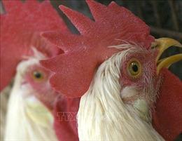 Hàng nghìn con gà bị chết khi chuyển qua đường bưu điện