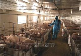 Cần gần 229 tỷ đồng hỗ trợ phòng, chống dịch tả lợn châu Phi