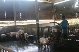 Bà Rịa-Vũng Tàu khó tái đàn do khan hiếm lợn giống