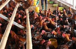 Quảng Ninh khống chế kịp thời dịch cúm gia cầm H5N6