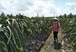 Phát huy tiềm năng và lợi thế thương hiệu 'Thanh long Chợ Gạo'