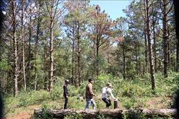 Khẩn trương điều tra vụ đầu độc thông rừng trong Vườn Quốc gia Bidoup - Núi Bà
