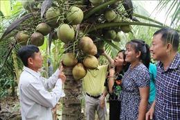 Giá dừa sáp Trà Vinh tăng cao