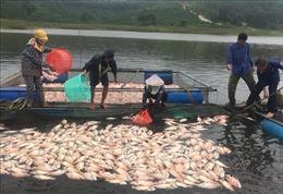 Kon Tum xử lý hơn 26 tấn cá chết do ảnh hưởng bão số 5
