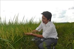 Lúa ST24 tạo sức hút với nhà nông vùng biên