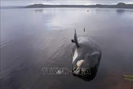 Phát hiện gần 100 cá voi hoa tiêu chết do bị mắc cạn tại New Zealand
