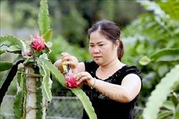 Thu nhập cao nhờ liên kết trồng thanh long ruột đỏ