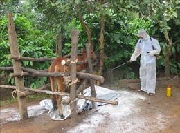 Bến Tre: Bệnh lở mồm long móng xuất hiện rải rác trên đàn bò