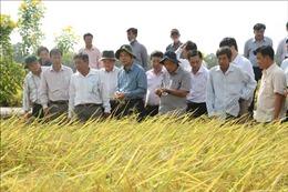 Nghiên cứu quy trình để giống gạo ST thành thương hiệu gạo thơm Việt Nam