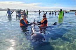 Hàng chục cá voi bị mắc kẹt trên bờ biển New Zealand