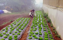 Khuyến cáo nông dân chống rét cho cây trồng, vật nuôi