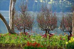Đà Lạt rực rỡ sắc màu hoa Tết