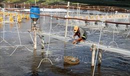 Phấn đấu vượt kế hoạch nuôi tôm nước lợ