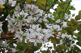 Tháng Ba, giới thiệu vẻ đẹp của hoa ban trong chuỗi hoạt động 'Mùa xuân nho nhỏ'