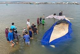 Bình Thuận: Cá Ông dài 15m lụy ngoài khơi được đưa vào bờ